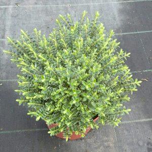 Veronica Buxifolia